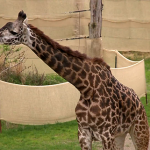 Baby Giraffe, Zuri, Cincinnati Zoo